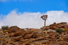 Quiver Tree (Aloidendron Dichotomum, Formerly Aloe Dichotoma) On Top Of A Rocky Hill At Fish River Canyon In Namibia On A Sunny Day With Blue Sky And White Clouds