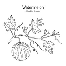 Watermelon Citrullus Lanatus Plant With Leaves And Fruit