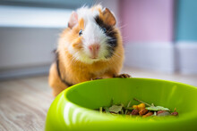 The Guinea Pig Eats Food From A Bowl.
