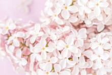 Pale Pink Lilac Blossoms On Pink Background, Closeup