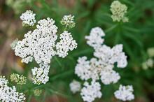 Inflorescences Of Yarrow Wild Plants.