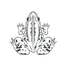 Vector Of Frog, Image Design Isolated On The White Background. Amphibian. Animal. Frog Icon. Logo.