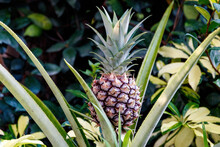 Growing Pineapple Aka Ananas Comosus Tropical Plant From The Bromeliaceae Family. South American Cultivated In Palm Beach Florida Near Broward County, Fort Lauderdale, Miami Dade And The Everglades