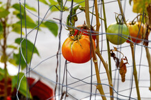 Red Ripe And Green Tomato Growing On A Vine On Metal Chicken Wire Inside Of A Backyard Patio Greenhouse Up Close With Blurred Background Ready To Pick And Fry For Fried Green Tomatoes Or Pasta Sauce