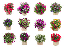 Set Of Bouquets Of Petunias Isolated On White Background