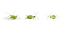 Puceron, Pucerons Vert Sur Fond Blanc, Insecte