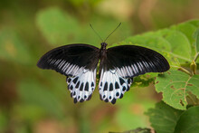 Blue Mormon Butterfly On Leaf. Seen In A India