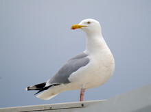 The European Herring Gull Is A Large Gull, Up To 66 Cm Long. One Of The Best-known Of All Gulls Along The Shores Of Western Europe