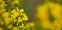 Detail Blossoming Rapeseed Canola Or Colza. Agriculture Field With Rapeseed Flowers. Oil Industry.  Spring Landscape.