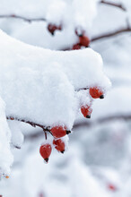 Vertical Shot Of Ripe Red Rosehips Covered With Snow On A Tree Branch