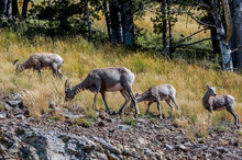 Bighorns (Ovis Canadensis) In Yellowstone National Park, USA
