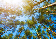 Treetops On A Background Of Blue Sky Swaying In The Wind. Crowns In Pine Wood Forest.