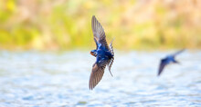Barn Swallow Hirundo Rustica Flies Over The Water And Catches Insects.