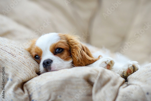 Obraz na plátne little puppy dog cavalier king charles spaniel sliping on a chair
