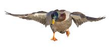 Running Mallard Duck Drake Isolated On White
