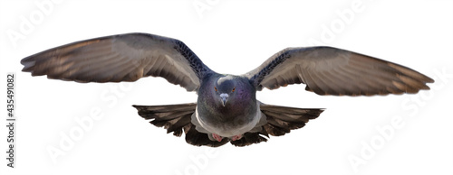 Canvas-taulu rock dove  in flight direct view
