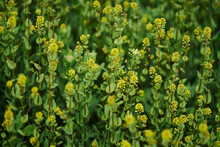 Close-up Of Yellow Blooming Flowers In The Field