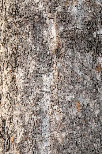 Fototapeta Platanus, or Sycamore tree bark close-up background