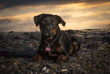 Black Rottweiler Dog On The Beach In The Evening