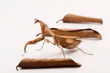 Deroplatys Lobata Dead Leaf Mantis On White Background
