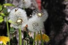Fluffy Dandelion Blowballs In Late Spring