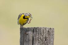Western Meadowlark Scratches Itself.