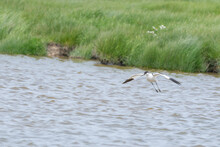 An Pied Avocet