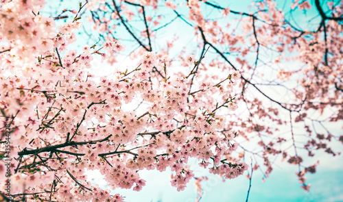 Foto Sakura tree in Japan