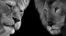 Male And Female Lion Closeup Face In The Black Background