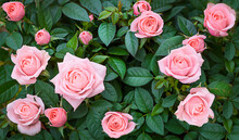 Background Of A Real Rose Bush With Pink Roses