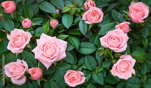 Photo Background of a real rose bush with pink roses