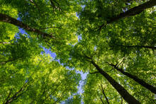Looking Up To Beech Forest Treetop. Spring Green Foliage Agians Blue Sky. Czech Landscape