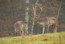 Fallow Deer Couple Grazing On Meadow In Fog And Rainy Autumn Weather. Stag And Hind Feeding Themselves In Wet Scenery. Animal Wildlife On Pasture On Greyish And Misty Meadow.