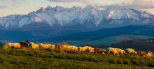 A Flock Of Sheep Grazing On A Mountain Meadow Against The Backdrop Of Peaks At Sunset Pieniny, Poland