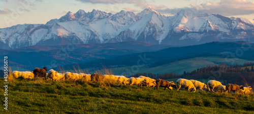 Fotografía A flock of sheep grazing on a mountain meadow against the backdrop of peaks at s