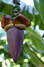 Closeup Of A Banana Blossom Hanging On A Banana Tree