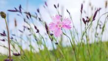 Wild Pink Carnation Flower