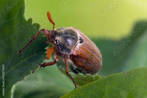 Valokuva cockchafer eating leaves