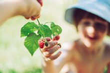 Child Boy Hands Touch And Take Fresh Raspberries With Green Leaves From His Mother's Hand At Garden.