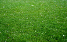 Grass Fields With White Daisy Flowers, Meadow With Wild Flowers, Nature Fresh Lawn Carpet Background. Green Grass Texture On Spring Time.