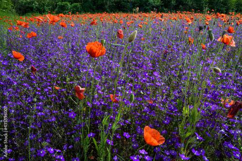 Carta da parati papaveri 05 -  papaveri e fiori viola in campo incolto e selvatico