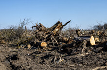 Uprooted Tree Stumps. Deforestation, Forest Clearing, Uprooting Trees, A Sad Landscape After Cut Downed Trees