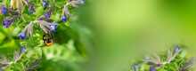 Spring Lungwort Flowers With Green Leaves. Bumblebee In A Lungwort Flower On A Soft Blurred Background In Spring, Panorama, Copy Space