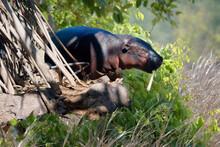 Pygmy Hippopotamus (Choeropsis Liberiensis), Ivory Coast, West Africa, Africa