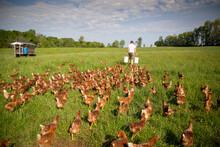 A Farmer Preparing To Feed His Flock Of Free Range Chickens At Rockland Farm Near Seneca, Maryland