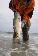 A Surf Fisherman Holds A Large Red Drum Just Caught In The Atlantic Off The Outer Banks Of North Carolina