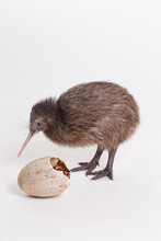 A Baby Kiwi Bird Chick Next To The Egg That He Hatched From, Smithsonian National Zoo's Conservation Institute, Virginia