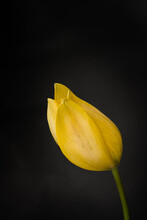 Yellow Tulip On Black Background