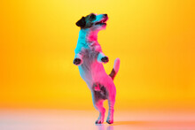 Portrait Of Jack Russell Terrier Dog Isolated Over Gradient Yellow Background In Neon Light.