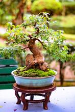 Fotografía De Enfoque Selectivo. Un árbol En Maceta Sobre Una Pequeña Mesa Llamada Bonsai Presentado En Una Exposición De Este Arte Asiático, Fotografía Tomada En Una Lluviosa Mañana De Primavera Entr
